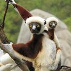 Anthropocene Apocalypse – the demise of the Lemur.