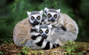 lemur_2647603b