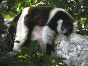lemurblack-and-white-ruffed-lemur